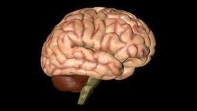 Animatie van Menselijk Brain Gyrating op Zwarte Achtergrond vector illustratie