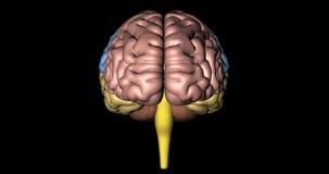 Animatie van stamtijden van menselijke die hersenen voor kleuren worden vertegenwoordigd vector illustratie