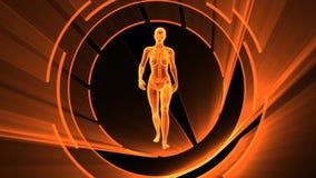 Animation 3D des Röntgenstrahls der erwachsenen Frau mit nahtloser Schleife lizenzfreie abbildung