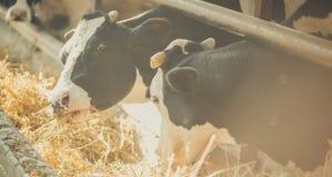 Animaux à la ferme photos stock