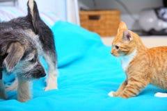 Animaux à la maison chien et chat jouant ensemble sur le lit Photo stock