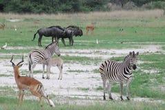 Animaux africains dans un domaine Photos stock