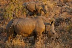 Animaux africains du sud Photos stock