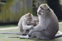 Animaux asiatiques exotiques Famille mignonne de singes Faune Bali, Indone Photos libres de droits