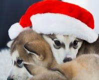 animaux Blanc enroué de deux chiots, chapeau de Noël ! Image libre de droits