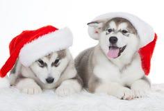 animaux Blanc enroué de deux chiots d'isolement, chapeau de Noël ! Image stock