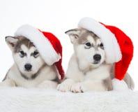 animaux Blanc enroué de deux chiots d'isolement, chapeau de Noël ! Photographie stock