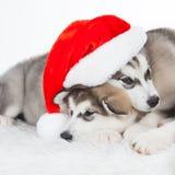 animaux Blanc enroué de deux chiots d'isolement, chapeau de Noël ! Photos libres de droits