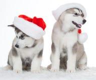 animaux Blanc enroué de deux chiots d'isolement, chapeau de Noël ! Photos stock