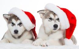 animaux Blanc enroué de deux chiots d'isolement, chapeau de Noël ! Photographie stock libre de droits