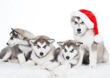 animaux Blanc enroué de quatre chiots d'isolement, chapeau de Noël ! Images stock