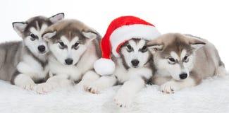 animaux Blanc enroué de quatre chiots d'isolement, chapeau de Noël ! Image stock