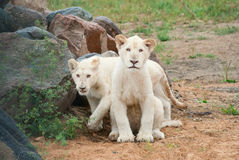 Animaux blancs du lion (P. Lion) Photo stock
