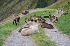 Animaux bloquant la route de montagne Photographie stock libre de droits