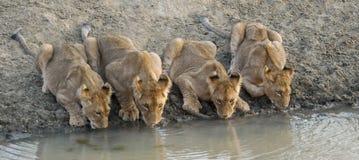 animaux buvant l'eau de lion photographie stock libre de droits