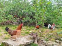 Animaux, coqs et poules de cour Images stock