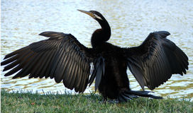 Animaux - cormoran Images libres de droits