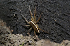 Animaux d'animaux familiers d'araignée images libres de droits