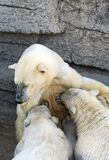 animaux d'ours polaires Image stock