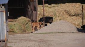 Animaux dans le zoo, veau photos stock