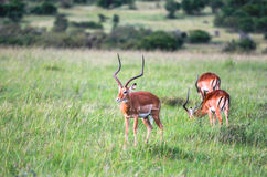 Animaux dans Maasai Mara, Kenya Images libres de droits