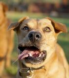 animaux de compagnie, chiens Photo stock