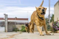 animaux de compagnie, chiens Photo libre de droits