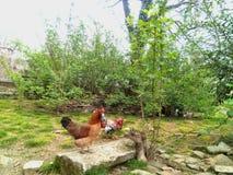 Animaux de cour, coq et une poule Photos libres de droits