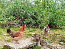 Animaux de cour, coqs et une poule de chant Photos stock