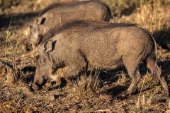 Animaux de faune de Warthogs Photo stock