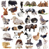 Animaux de ferme Images stock