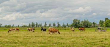 Animaux de ferme - cheptels laitiers Photo stock