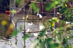 Animaux de ferme dans la campagne Thaïlande Photo libre de droits