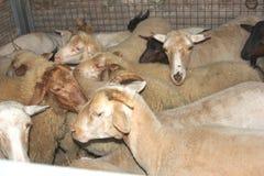Animaux de ferme dans une cage au bétail-marché Photo libre de droits