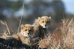 Animaux de guépard Photographie stock libre de droits