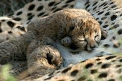 animaux de guépard Image stock
