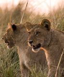 Animaux de lion dans le chobe Images libres de droits