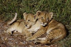Animaux de lion exposant au soleil en matin froid, masais Mara Photographie stock