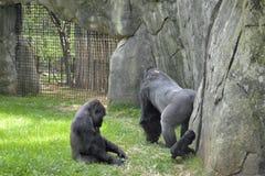 Animaux de zoo. Gorilles Photographie stock libre de droits