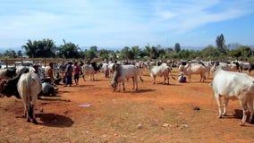 Animaux domestiques sur des bétail justes dans Heho, Myanmar banque de vidéos