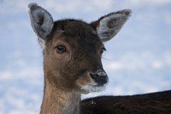 Animaux en hiver Photo libre de droits