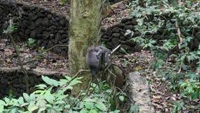 Animaux et singe adultes de bébé sur des plantes grimpantes de forêt tropicale dans Bali clips vidéos
