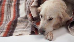 Animaux familiers aimés à la maison - les grands repos aimables de chien en automne ou pendant l'hiver froid sous une couverture clips vidéos