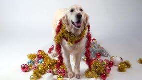 Animaux familiers drôles - grand chien amical posant dans le studio avec des décorations de Noël sur un fond blanc banque de vidéos