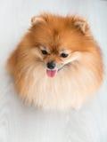 Animaux familiers mignons de chien de Pomeranian heureux dans la maison Photo stock