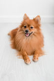 Animaux familiers mignons de chien de Pomeranian heureux dans la maison Images stock
