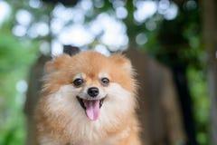 animaux familiers mignons de chien pomeranian, plan rapproché Image stock