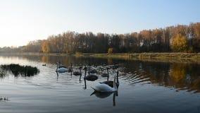 Animaux faune, oiseaux : natation de famille de cygne dans l'étang banque de vidéos