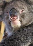 Animaux - koala Images stock