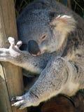 Animaux - koala Image stock